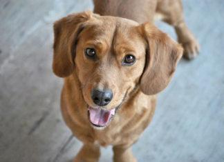 Jak pielęgnować jasną sierść u psa?